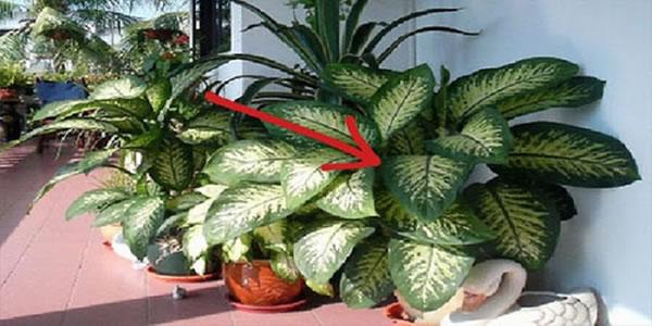 Esta-planta-em-sua-casa-pode-matar-uma-criança-em-1-minuto-e-um-adulto-em-15