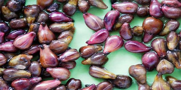 O-extrato-destas-sementes-mata-as-células-do-câncer-em-24-horas