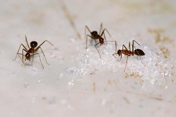 como_combater_as_formigas