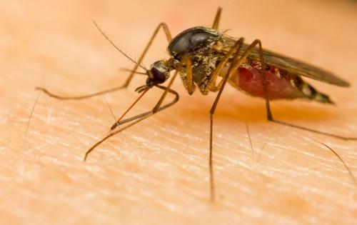 Por-que-algunas-persoas-são-mais-atrativas-para-os-mosquitos-500x315-500x315