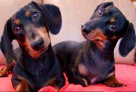 large_cachorro-inclina-a-cabec_a-capa