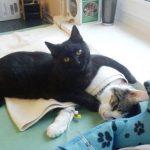 Um gato que cuida, limpa e mima os animais doentes como um enfermeiro