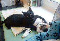 Gato-enfermeiro-cuida-dos-outros-animais-doentes-1
