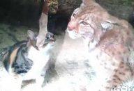Gato-invade-jaula-de-animal-selvagem-e-o-que-acontece-depois-deixa-todos-de-queixo-caído