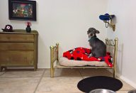 large_room-for-chihuahua-dog-1