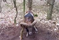 um-carneiro-selvagem-esta-preso-a-arvore
