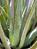 aloe_barbadensis